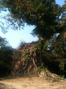 Sambo Prey Kuk - tree and temple, jungle and ground