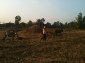 Rice fields and cows