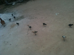 There are many chickens in the village, who kindly eat the insects